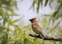 Cedar Waxwing, Bombycilla Cedrorum, Perched On Branch Soft Green Background