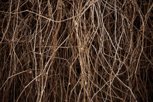 Hedge Of Dry Vine Branches, Na...