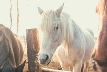 Beautiful White Rural Horse Ea...