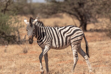 Portrait Of A Zebra In The Afr...