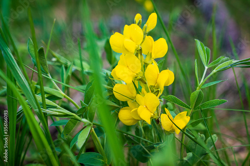 Beautiful yellow wildflowers thrive in the Black Hills of South Dakota.