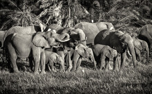 Elephants Drinking Water With ...