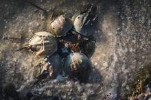 Horseshoe Crabs Mating In Ever...