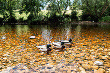 Three Ducks In Yorkshire River