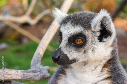 Canvas Print Ring-tailed lemur portrait (Lemur catta) during a summer day