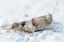 Macro Closeup  Of Grasshopper On Sand.