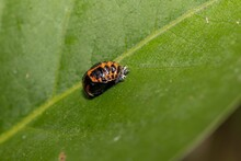 Ladybug Larva On A Green Leaf,...