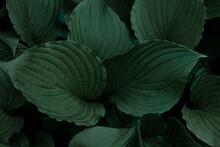 Hosta Plant. Green Leaves. Nat...