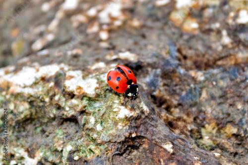 Fotografie, Tablou Ladybug sitting on a stone
