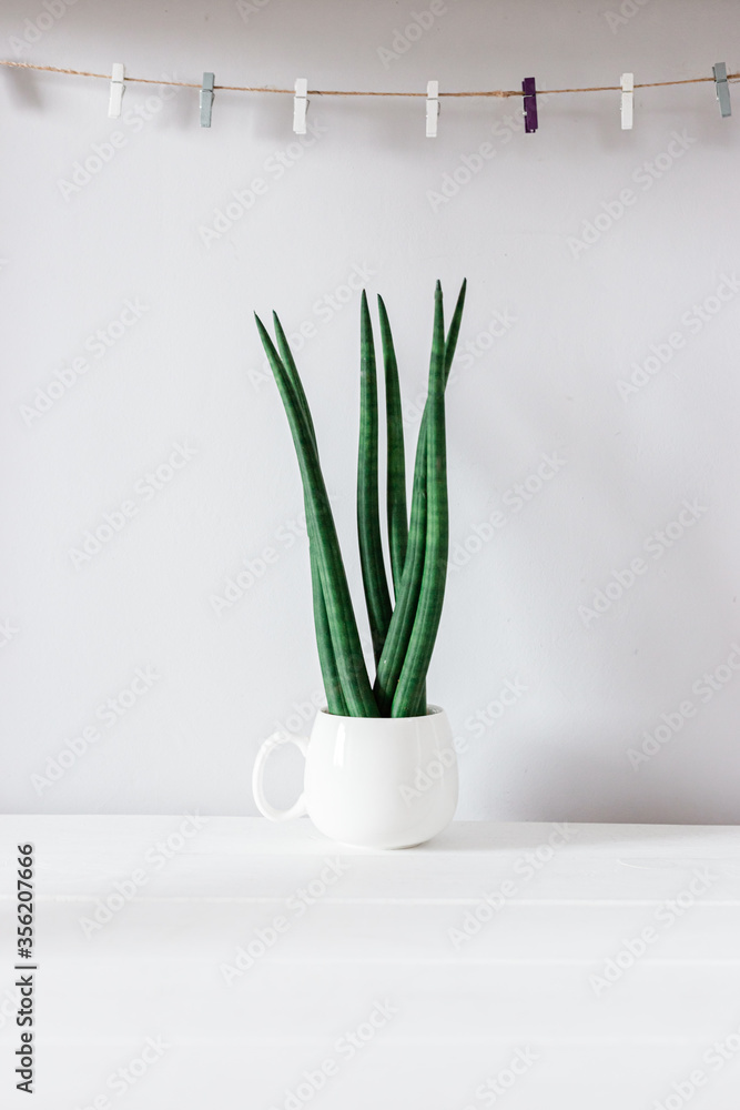 Fototapeta ornamental plant - sansevieria, succulent. Modern decor, looks spectacular at home or in the office