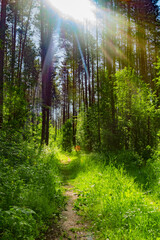 Summer nature background with sun beam . Green landscape . Sunny forest early in the morning