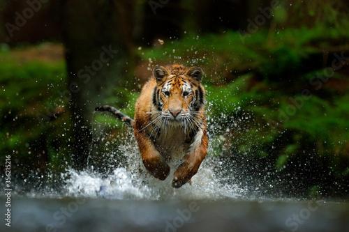 Slika na platnu Amur tiger playing in the water, Siberia