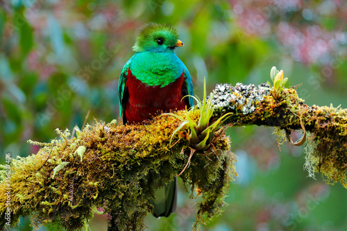 Fotomural Quetzal, Pharomachrus mocinno, from  nature Costa Rica with green forest