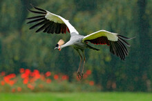 Grey Crowned Crane In Flight, Balearica Regulorum, With Dark Background. Bird Head With Gold Crest In Heavy Rain, Africa, Tanzania. Big Bird Fly In The Nature.