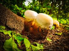 Beer Cup Mushroom
