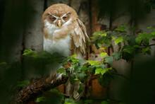 Leucistic Spectacled Owl, Puls...