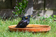 Two European Starling, Sturnus Vulgaris, Washing In A Bird Bath