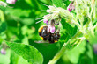 Leinwandbild Motiv Large Yellow Orange Honey and Black Striped Bee polinating comfrey flowering purple plants. Close up Marco View