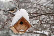 Tufted Titmouse By Bird House In Snowstorm;  Maryland