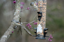A Tufted Titmouse Perches Quietly On A Small Twig As Another Tufted Titmouse Flies Into The Defocused Area Of The Photo Image Making An Interesting Photograph. Bokeh Effect.