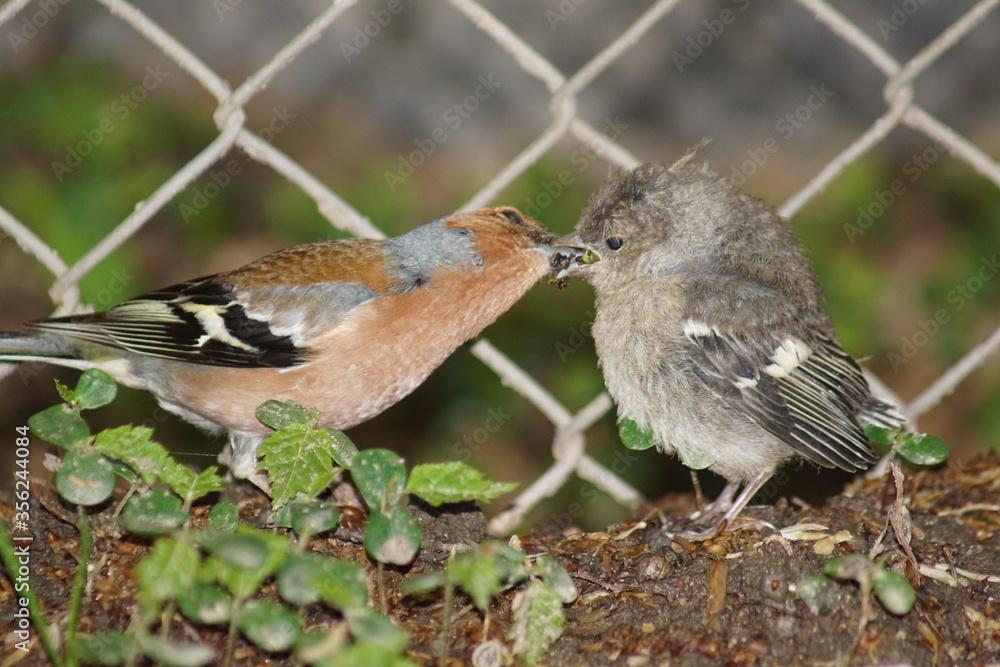 Fototapeta Piskle ,młody ptak ,żięba ,młoda zięba ,opieka nad potomstwem ,zięba i pisklę ,opieka samca