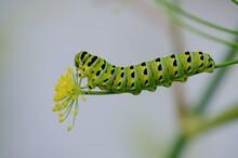 Eastern Black Swallowtail Larv...