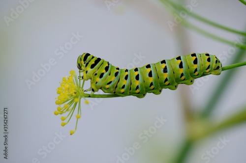 Valokuvatapetti Eastern black swallowtail larva - Color Macro Format
