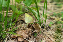 Clouded Sulphur Butterfly In Springtime