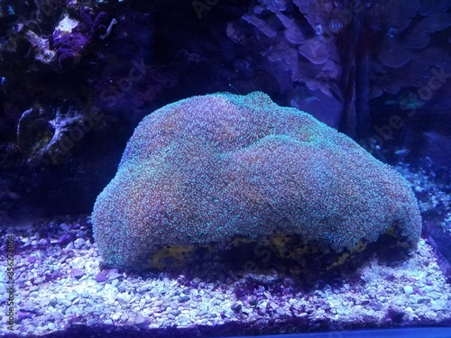 glowing coral in aquarium water or tank