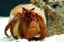 Close-up Of Hermit Crab.