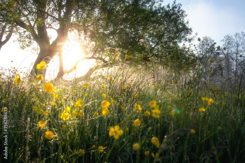 Fototapety, obrazy: Fabulous summer background. Sunlight among trees.Early morning on green meadow with yellow flowers in dew