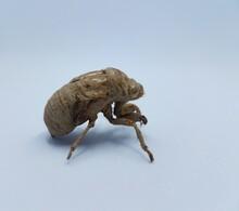 Brown Cicada Shedded Skin On W...