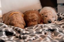 Newborn Puppies (goldendoodles)