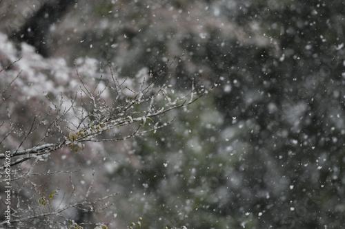 Photo 厳しい春 雪 桜
