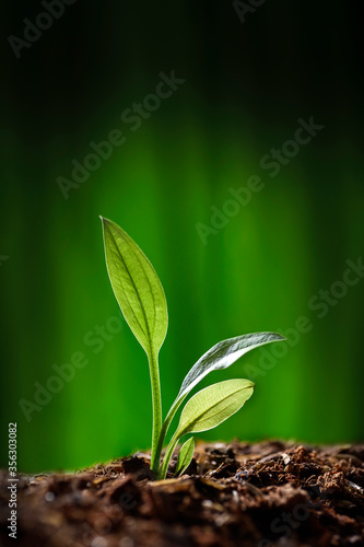 Green sprout growing out from soil in the morning light Canvas Print