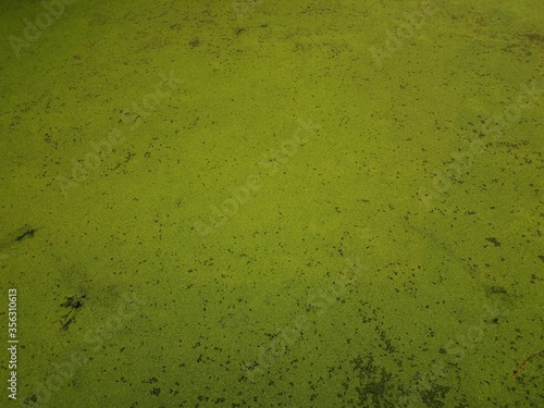 green algae plants covering stagnant water in a lake Canvas-taulu