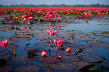 Beautiful Of Red Lotus In The ...
