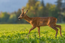 Young Roe Deer Buck Walking Through The Clover Field In Sunset Light, Wildlife, Capreolus Capreolus, Slovakia