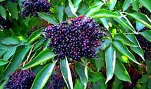 Sambucus Nigra. Common Names Include Elder, Elderberry, Black European Elder, European Elderberry And European Black Elderberry. Black Sambucus Berries & Leaves Growing On Tree Or Shrub. Fruit Cluster