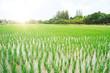 Leinwandbild Motiv rice field in thailand