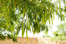 Albizia Chinensis (silk Tree, Chinese Albizia Kang Luang, Cham, Sengon) Tree With Seed Pods. Albizia Chinensis  Green Seed Pod