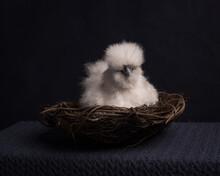 Studio Portrait Of White Chicken In Basket