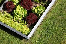 Garden With Organic Lettuce Sa...