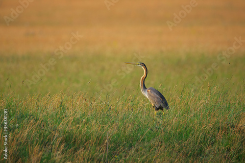 Foto Purple Heron - Ardea purpurea on wetland