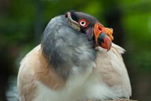 Headshot Of Colorful King Vulture Bird (Sarcoramphus Papa)