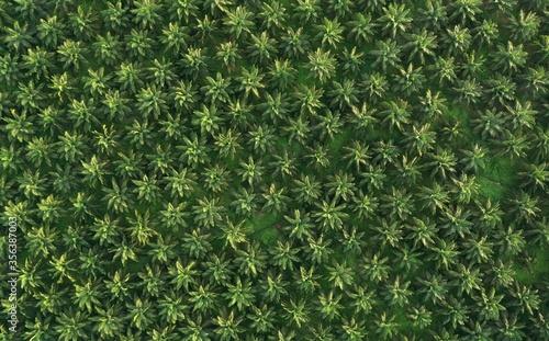 Fotografiet Palm Oil Plantation. Tree pattern.