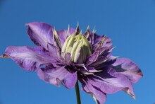 Purple Clematis Against Blue Sky