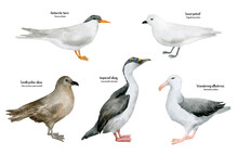 Watercolor Hand-painted Realistic Northern Bird. Wandering Albatross, Imperial Shag, South Polar Skua, Snow Petrel, Antarctic Tern. Marine Fowl For Poster, Nursery Decor, Cards. Antarctic Series.