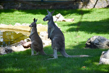 Two Kangaroos Standing In The ...