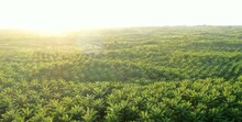 An Aerial View Of Palm Oil Pla...